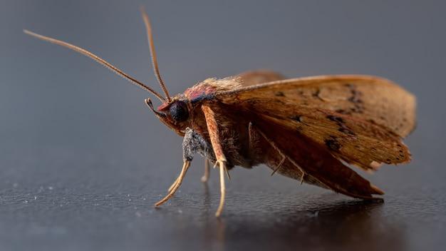 Papillon jaune brésilien de l'espèce azeta ceramina