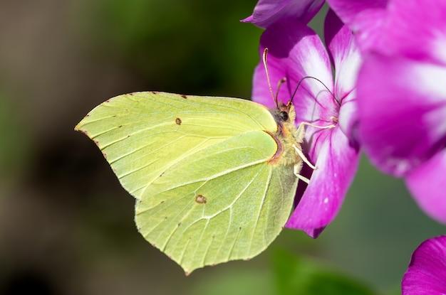 Papillon jaune sur une fleur