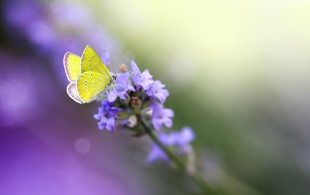 Papillon jaune sur gros plan de fleurs de lavande, macro.