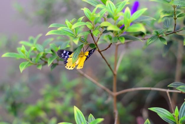Le papillon jaune et noir asiatique