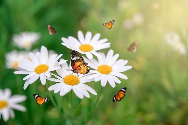 Le papillon jaune-orange est sur les fleurs roses blanches dans les champs d'herbe verte