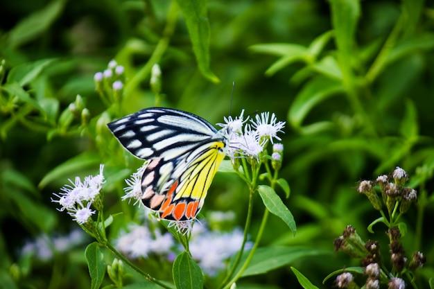 Papillon jézabel ou (delias eucharis) sur la plante à fleurs au printemps