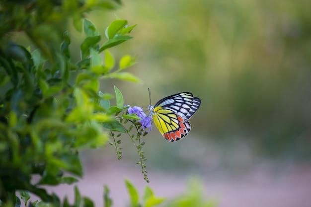 Papillon jezebel indien