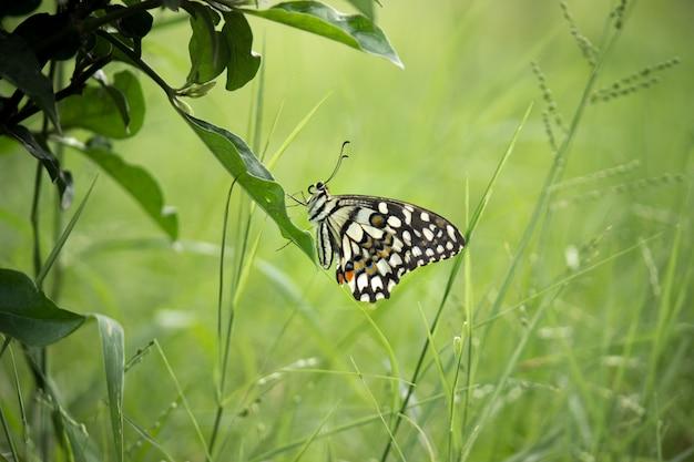 Papillon lime assis sur une feuille entourée de verdure