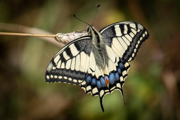 Papillon machaon à l'extérieur