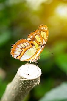 Papillon machaon, papilio machaon libre avec fond vert