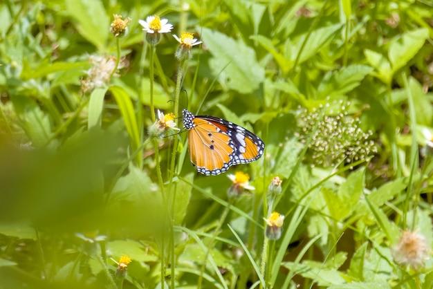 Papillon monarque asiatique