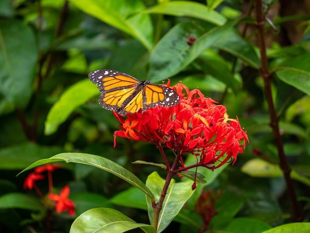 Papillon monarque se nourrissant d'une énorme fleur rouge