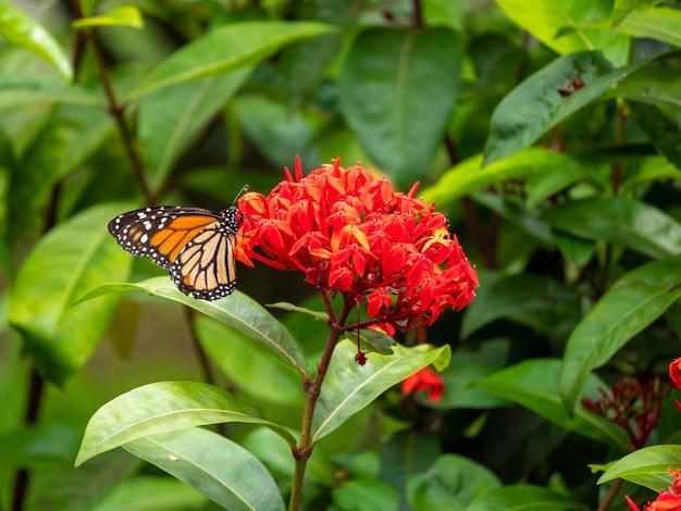 Papillon monarque se nourrissant d'énormes fleurs rouges