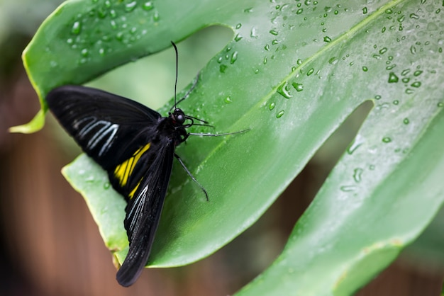 Papillon noir à angle élevé sur feuille