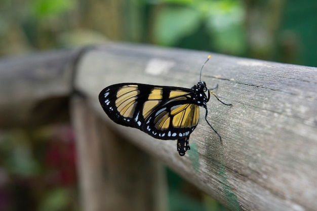 Papillon noir et jaune à campos do jordão, brésil