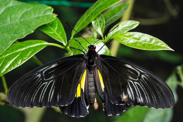 Papillon noir majestueux vue de dessus
