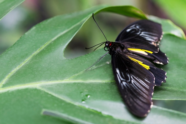 Papillon noir posé sur une feuille