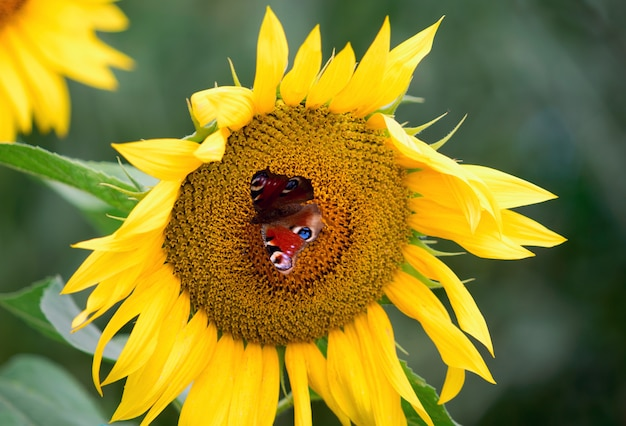 Le papillon de l'oeil de paon assis sur la fleur d'un tournesol.
