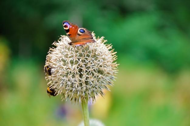Le papillon de l'oeil de paon sur le gros plan de fleurs en forme de boule