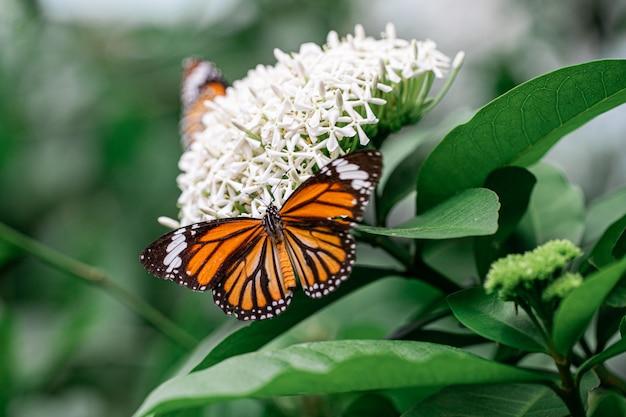 Papillon orange avec fleur d'ixora blanche