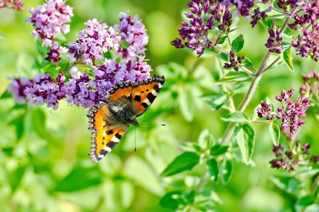Papillon orange sur une fleur d'origan sur fond d'herbe verte