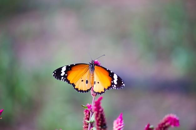 Le papillon ordinaire du tigre