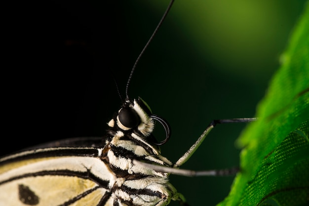 Papillon pâle sur feuille