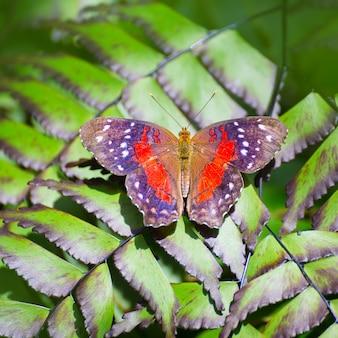 Papillon paon rouge anartia amathea
