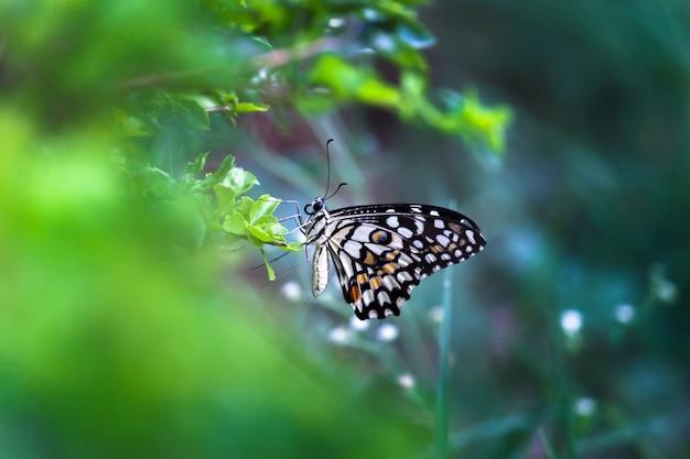 Papillon papilio ou papillon tilleul commun ou machaon à carreaux reposant sur les plantes à fleurs