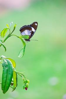 Papillon papillon