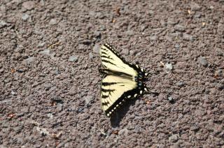 Papillon, photo