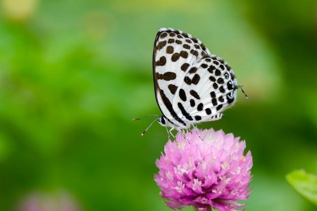 Papillon pierrot commun sur fleur pourpre