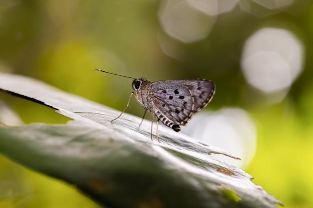 Papillon à pois se reposant dans la journée