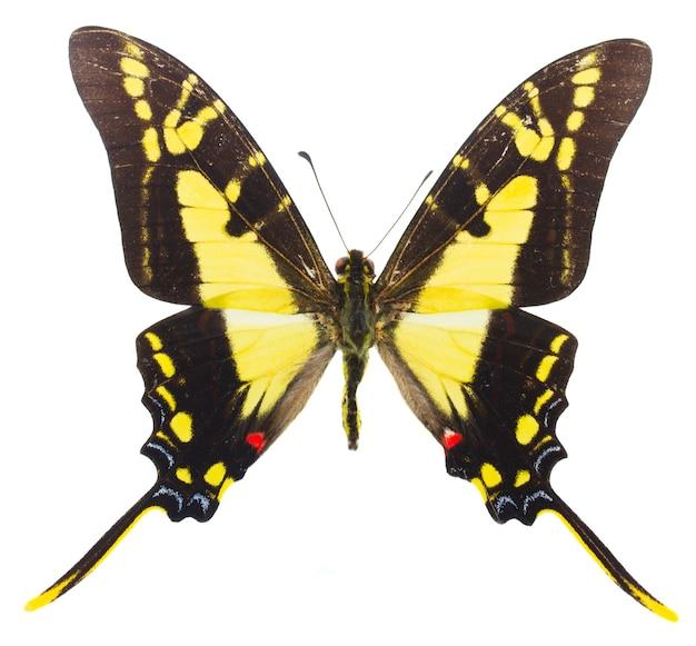 Papillon protographium thyastes isolé sur blanc