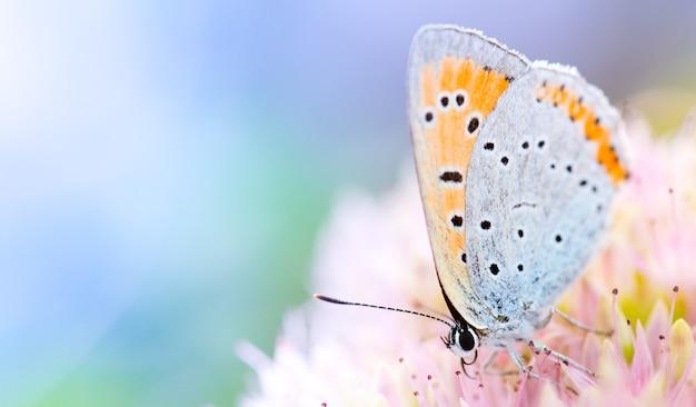 Papillon pylaon sur une fleur de chèvrefeuille rose. gros plan, macro.