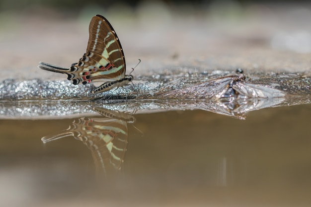Papillon de queue jay manger de l'eau en fond de nature