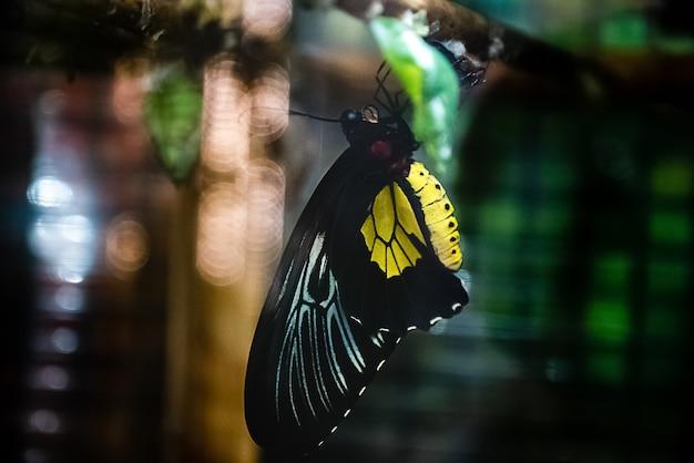 Le papillon sort d'un cocon