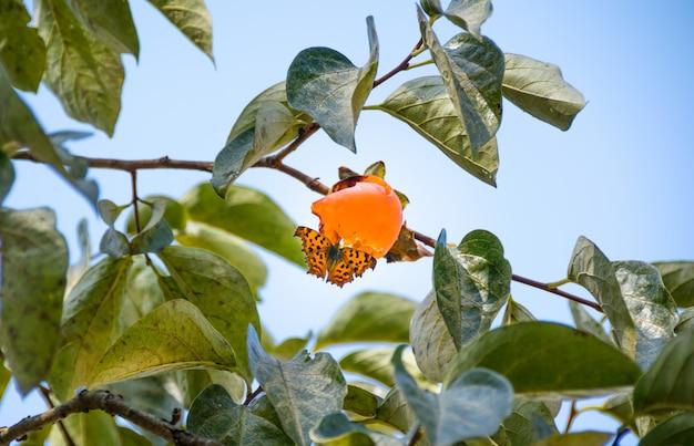 Un papillon sucer de l'eau douce de kaki en automne