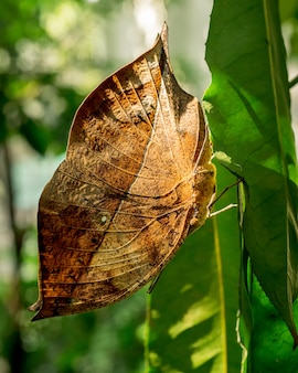 Papillon suspendu à la feuille verte gros plan image d'insecte
