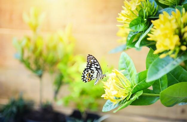 Papillon tigre commun sur fleur jaune ixora avec la lumière du soleil. concept de fleur papillon insecte