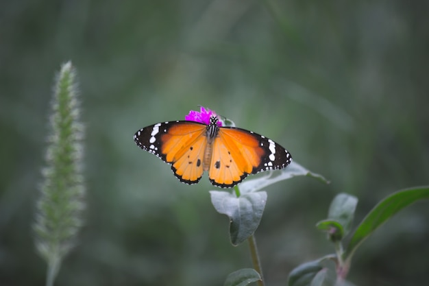 Le papillon tigre ou également connu sous le nom de papillon danaus chrysippus reposant sur les plantes à fleurs