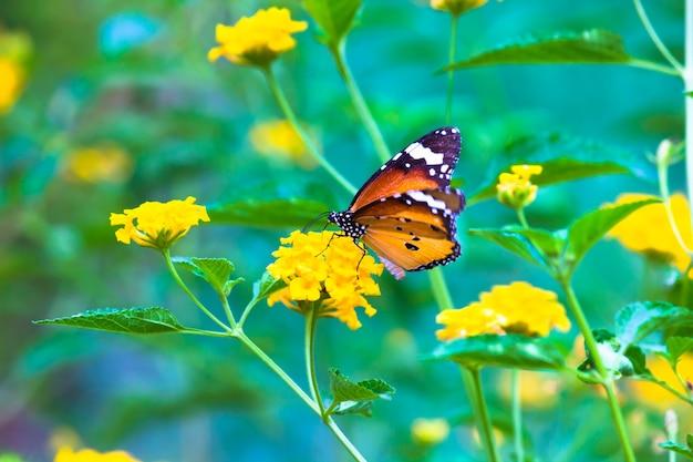 Papillon tigre ordinaire ou également connu sous le nom de papillon danaus chrysippus reposant sur la plante à fleurs