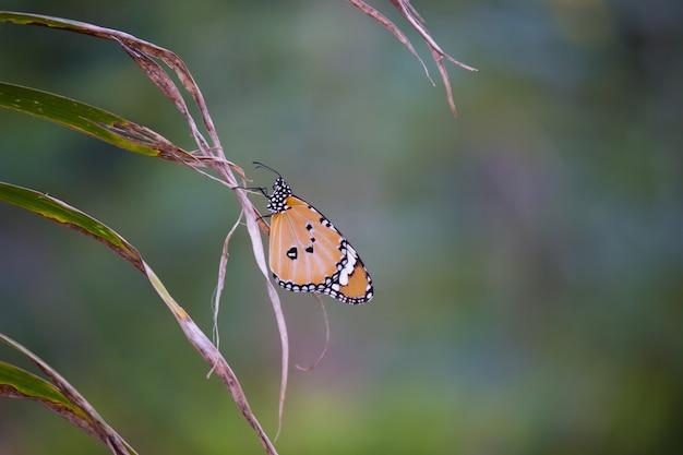 Papillon tigre uni