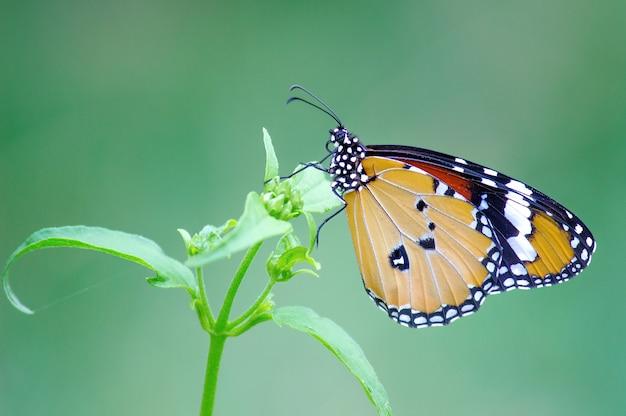 Le papillon tigre uni