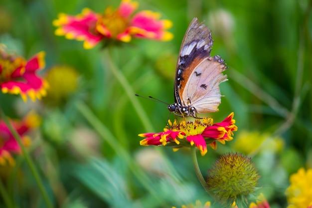 Papillon tigre