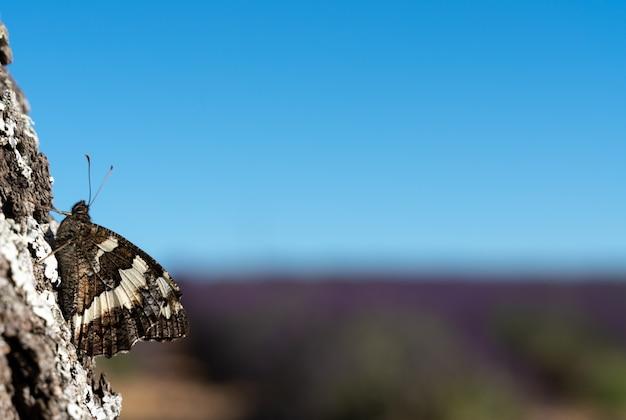 Papillon sur un tronc d'arbre avec des champs de lavande à l'horizon