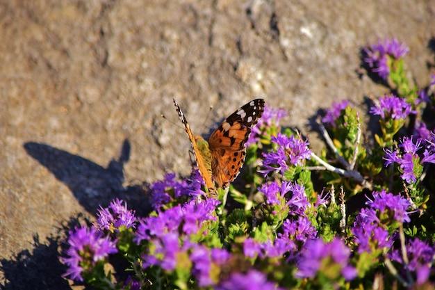 Papillon vanessa cardui collecte de pollen sur arbuste de thym méditerranéen