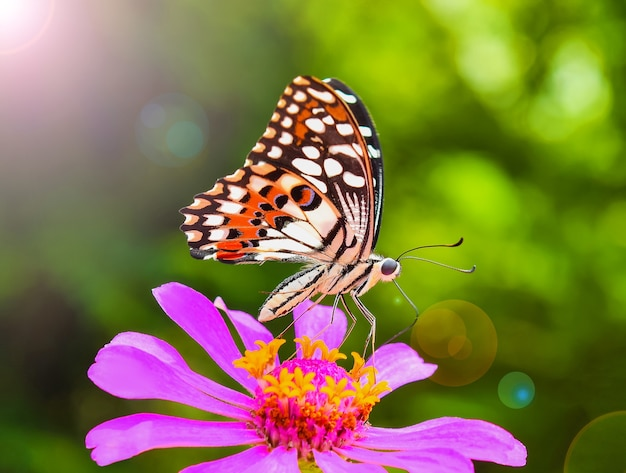 Papillon sur zinnia rose
