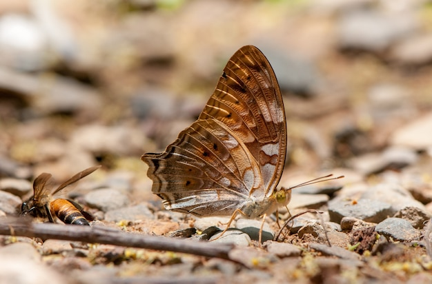 Des papillons mangent des minéraux dans le parc national de kaeng krachan, en thaïlande.