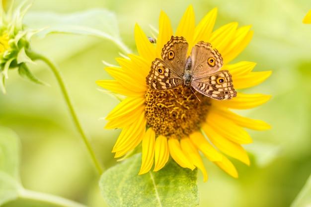 Les papillons se perchent magnifiquement sur les tournesols le matin