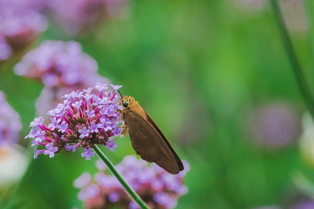 Les papillons sur la verveine sont en fleurs et beaux pendant la saison des pluies.