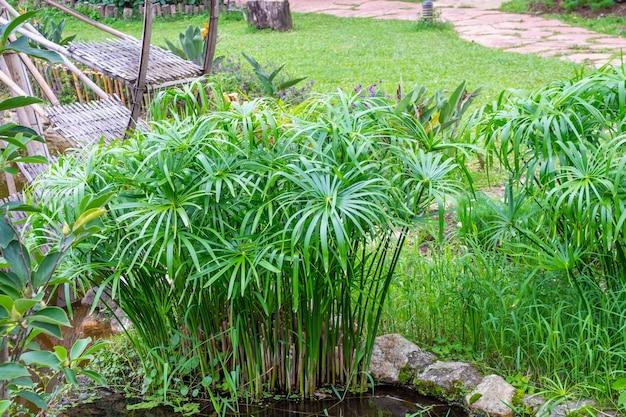 Papyrus parapluie avec fond de feuilles vertes