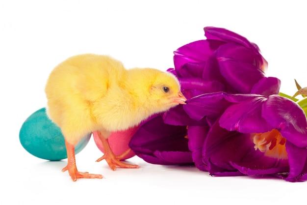 Pâques avec des poussins, des œufs et des fleurs