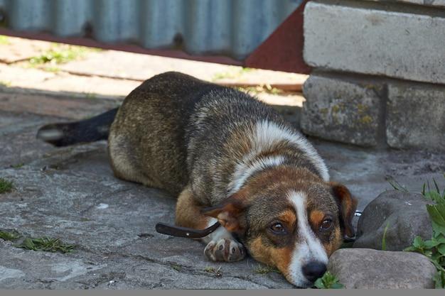 Par une journée chaude, le chien cherche de l'ombre et se repose de la chaleur.